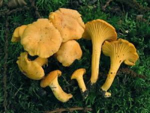 Girolle ou chanterelle La morille : champignon comestible