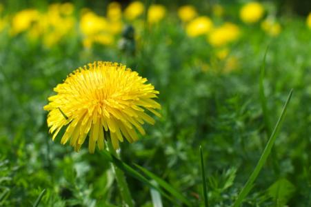 Le Pissenlit : plante sauvage médicinale