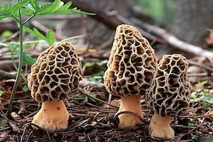 La morille : champignon comestible