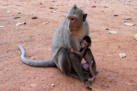 photo d'un singe adulte et de son bébé singe dans les bras, sur un sol en terre cuite au cambodge