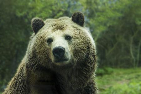 photo d'un ours brun adulte en gros plan en pleine nature