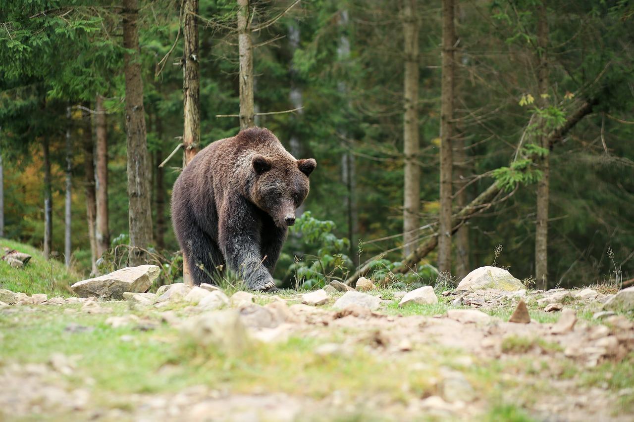 photo d'un ours brun se baladant en pleine forêt