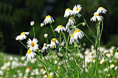 La Camomille : plante sauvage médicinale