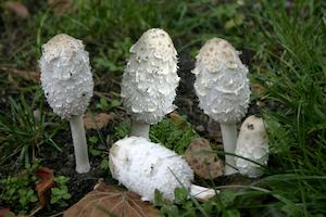 Le Coprin Chevelu La morille : champignon comestible