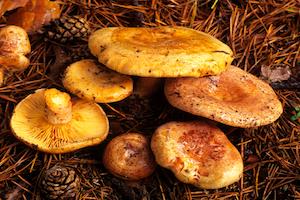 La Lactaire délicieux La morille : champignon comestible