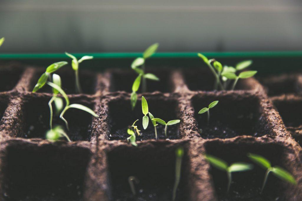 Jeune pousse issu des graines du jardin d'émerveille