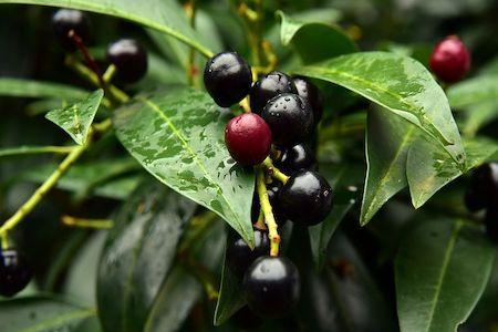 photo d'une plante toxique formée de baies rouges puis noires ressemblant fortement à des cerises