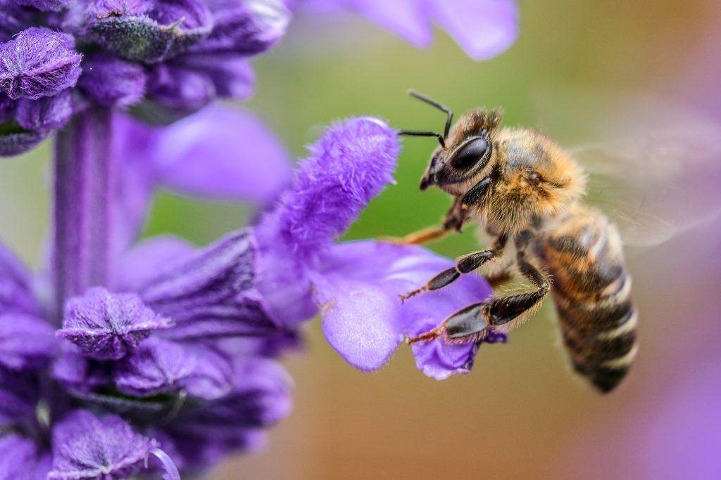 Abeille qui butine le nectar des fleurs