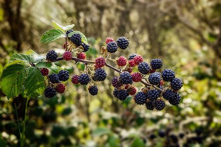 Les ronces : plante sauvage comestible