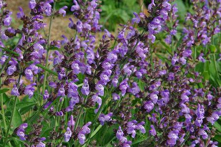 La Sauge : plante sauvage médicinale