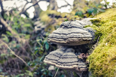 photo de l'amadou, un champignon hautement combustible qui aide beaucoup à faire partir un feu en pleine nature