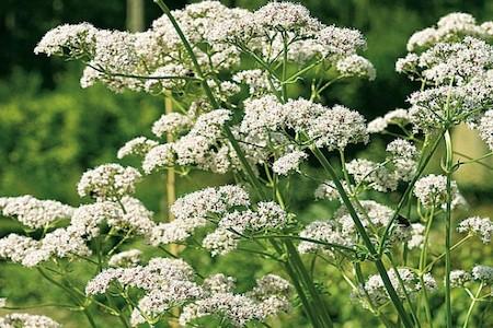 La Valériane : plante sauvage médicinale