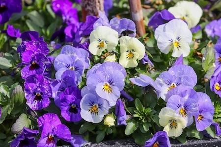 la violette : plante sauvage comestible