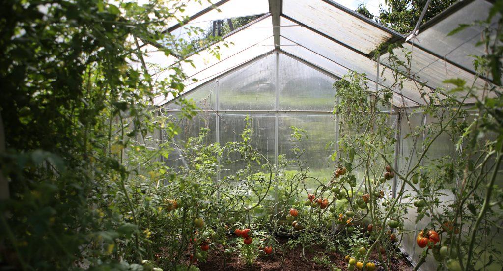 Serre en permaculture avec plusieurs variétés de tomates